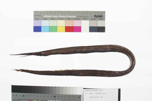 A Duckbill eel collected on the NORFANZ expedition