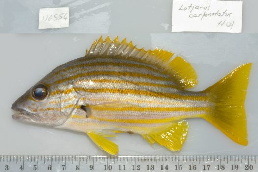 Adult Stripey Snapper