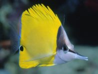 Forceps Fish at Great Detached Reef