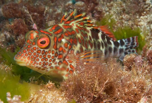 Splendid Hawkfish at Fly Point