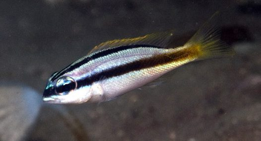 Juvenile Rainbow Monocle Bream