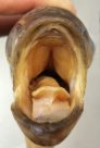 Mouth of a Sevenspot Archerfish