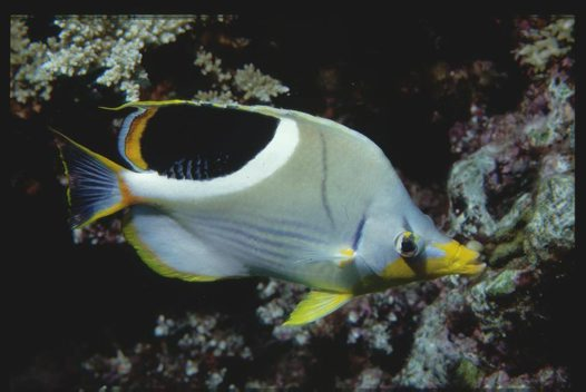 Saddle Butterflyfish at Harrier Reef