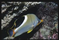 Saddle Butterflyfish at Tijou Reef