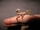 juvenile Spiny Leaf Insect