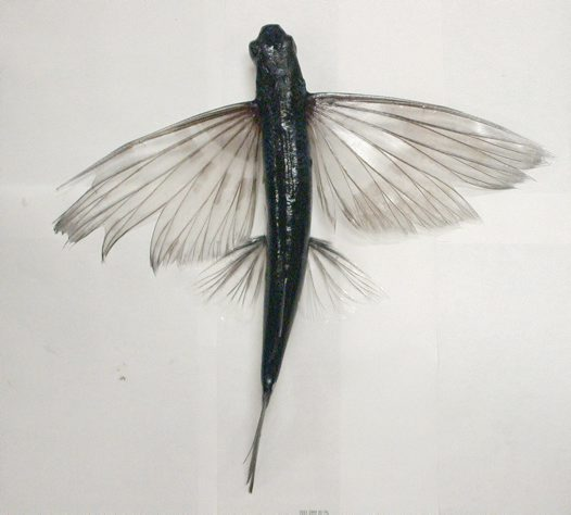 Flyingfish, Cheilopogon sp.