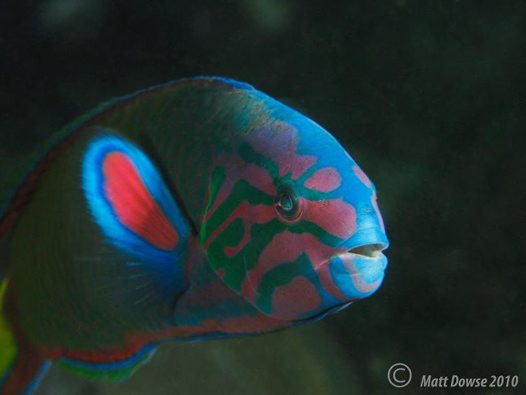 Moon Wrasse at Halifax Park