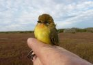 Yellow Thornbill caught in White-Fronted Chat project