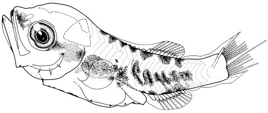 4.8 mm Postflexion Larva of Macquaria colonorum