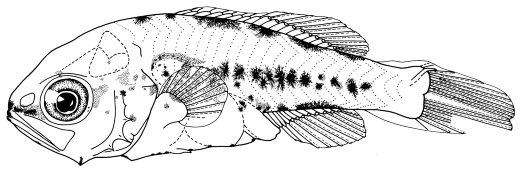 7.1 mm Postflexion Larva of Macquaria colonorum