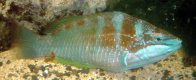 Luculent Wrasse from Lord Howe Island