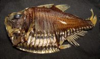 Giant Hatchetfish from the collection