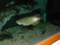 Northern Saratoga in an aquarium