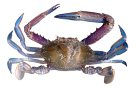 Blue Swimmer Crab - Portunus pelagius