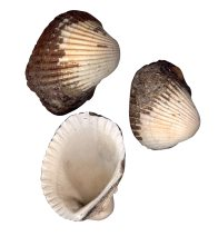 Sydney Cockles