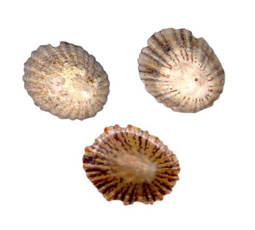 Limpets - Cellana tramoserica