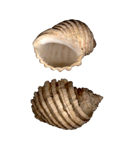Cartrut Shell - Dicathais orbita
