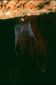 A Mullamullang Cave Spider
