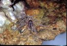 An undescribed marine spider