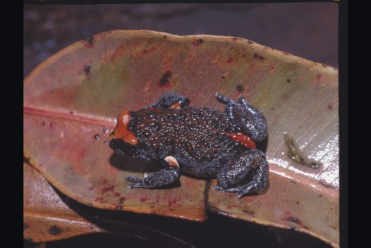 Red-crowned Toadlet, Pseudophryne australis
