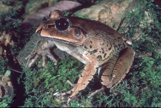 Great Barred Frog, Mixophyes fasciolatus