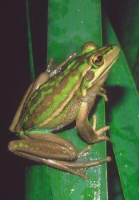 Frogs in your Backyard - Australian Museum
