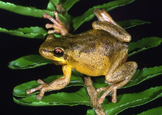 Bleating Tree Frog, Litoria dentata