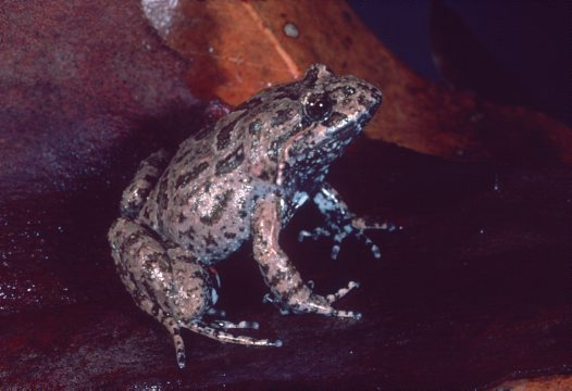 Tusked Frog, Adelotus brevis