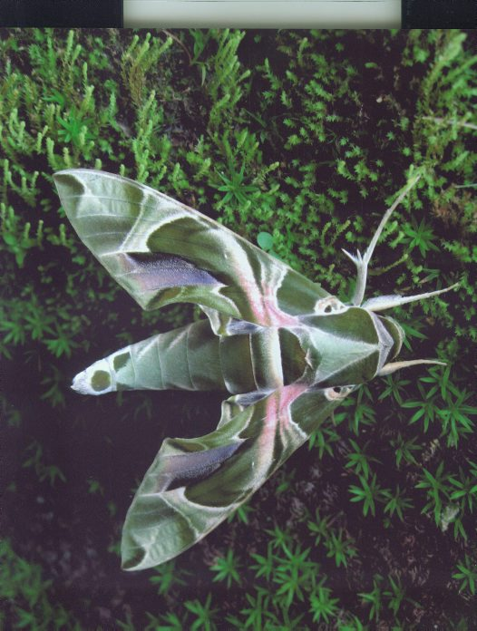 Hawk Moth of Mt Mulianje - Tom Wiliams