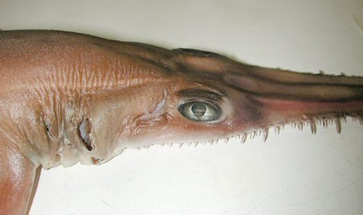 Eye of Common Sawshark