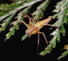 Colourful Lynx Spider, Oxyopes