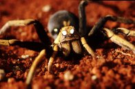 Eye shine from a Wolf Spider