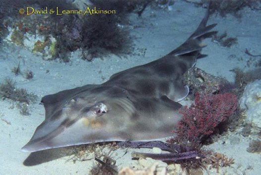 Eastern Shovelnose Ray