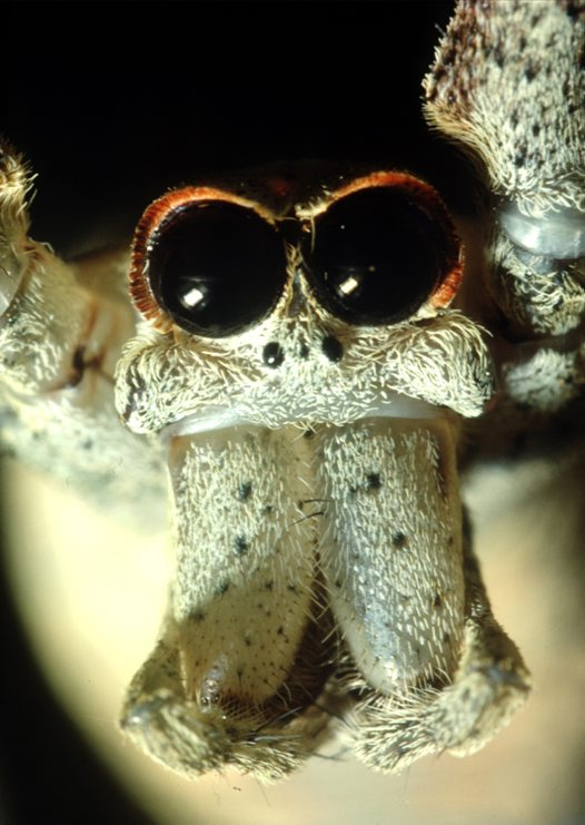 Head of a Net-casting Spider, Deinopis