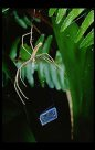 Net-casting Spider and net, Deinopis subrufa