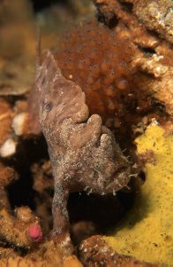 Whitespotted Anglerfish guarding eggs