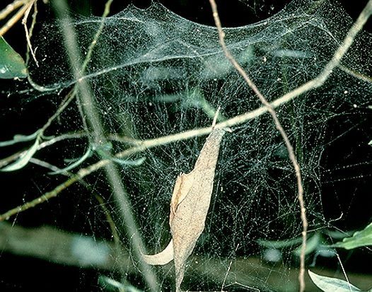 Web of the comb-footed platform spider