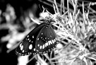 Black and White Butterfly - Stephan Marohn