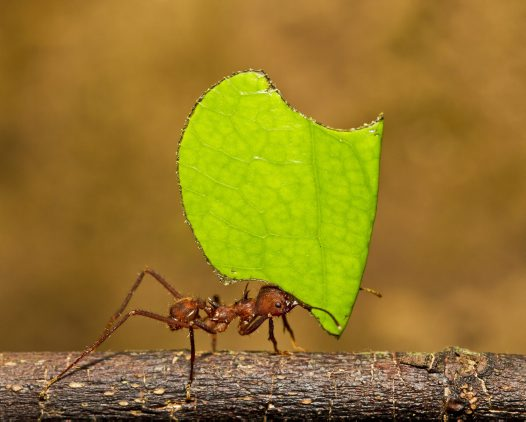 Leaf-cutter Ant - Ken Griffiths
