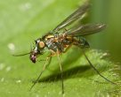 Long-legged Fly Eating a Fruitfly - Roz Batten