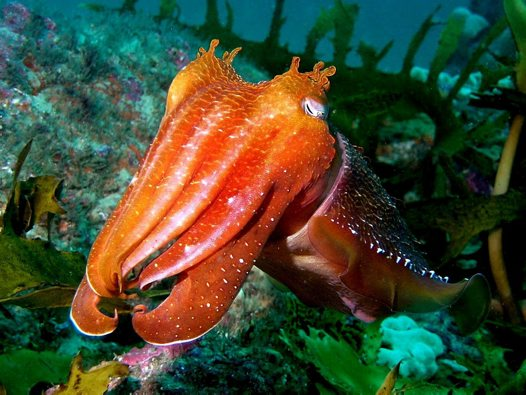Inquisitive Cuttlefish - Peter Simpson