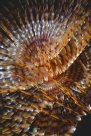 Feather Duster Worm - Erik Schlogl