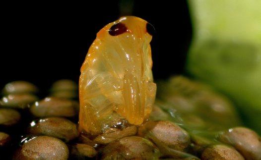 the gallery for gt belostomatidae eggs