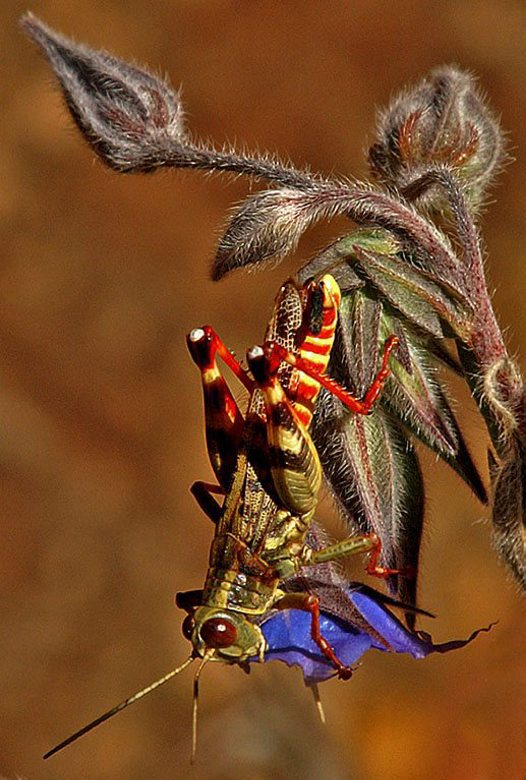 Colourful Grasshopper - Carol Newton
