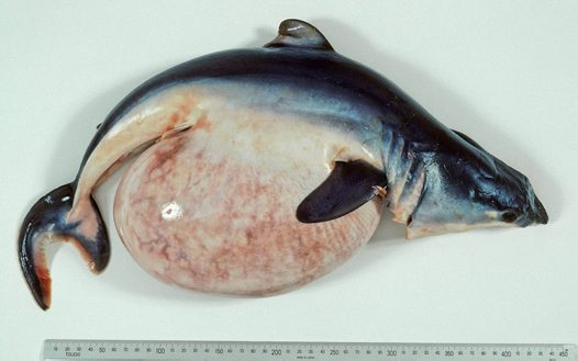 Shortfin Mako embryo