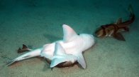Port Jackson Sharks mating #3