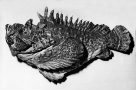 Estuarine Stonefish, Synanceia horrida