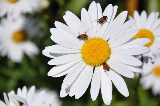 Beetles on Daisy - Harrison Kusevskis-Hayes.