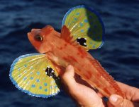 Red Gurnard caught off Sydney Heads