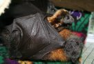 Flying fox and baby